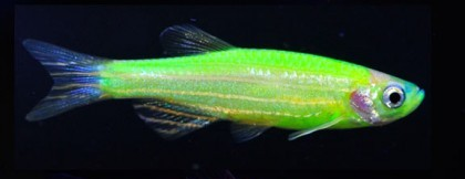 Glowing zebrafish